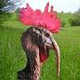 Avatar de el pavo pollo